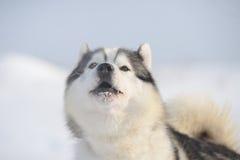 Sibirischer Schlittenhund zwei Stockfotografie
