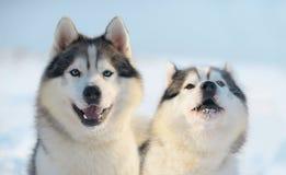 Sibirischer Schlittenhund zwei Lizenzfreie Stockbilder