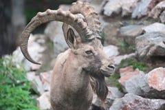Sibirischer Steinbock Lizenzfreies Stockbild