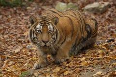 Sibirischer Tiger Stockbild