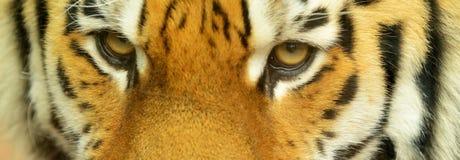 Sibirischer Tiger Lizenzfreies Stockbild