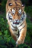 Sibirischer Tiger Stockfoto