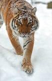 Sibirischer Tiger Stockfotografie