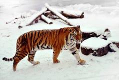 Sibirischer Tiger auf einem Schnee Stockfoto