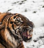 Sibirischer Tiger auf Schnee Lizenzfreies Stockfoto