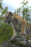 Sibirischer Tiger Cub Lizenzfreies Stockfoto