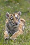 Sibirischer Tiger Cub Stockbild