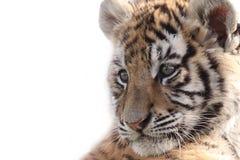 Sibirischer Tiger Cub Lizenzfreie Stockbilder
