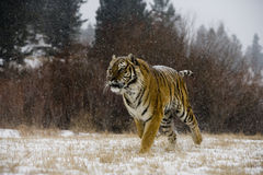 Sibirischer Tiger, der Pantheratigris-altaica Stockbilder
