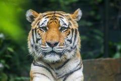 Sibirischer Tiger, der in Richtung der Kamera blickt Lizenzfreie Stockfotografie