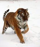 Sibirischer Tiger, der in Schnee läuft lizenzfreies stockbild