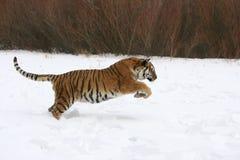 Sibirischer Tiger, der in Schnee läuft Stockfotografie