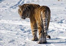 Sibirischer Tiger, der zurück schaut Lizenzfreies Stockfoto