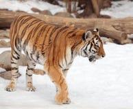 Sibirischer Tiger im Moskau-Zoo Stockbild