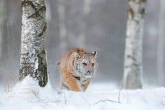 Sibirischer Tiger im Schneefall Amur-Tiger, der in den Schnee läuft Tiger in der wilden Winternatur Szene der Aktionswild lebende Lizenzfreie Stockfotos