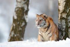 Sibirischer Tiger im Schneefall Amur-Tiger, der in den Schnee läuft Tiger in der wilden Winternatur Szene der Aktionswild lebende lizenzfreies stockfoto