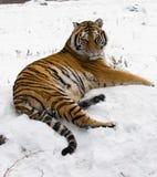 Sibirischer Tiger Lounging auf a-Felsen Lizenzfreies Stockfoto