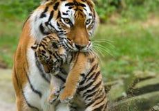 Sibirischer Tiger mit Jungem Lizenzfreie Stockbilder