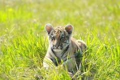 Sibirischer Tiiger Welpe Stockfoto