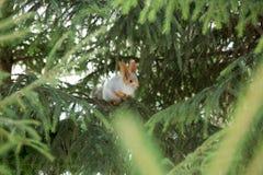 Sibirisches Eichhörnchen auf dem Baum Stockbilder