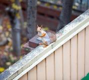 Sibirisches Eichhörnchen auf dem Zaun Lizenzfreies Stockfoto