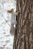 Sibirisches Eichhörnchen herauf den Stamm Lizenzfreie Stockbilder