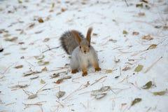 Sibirisches Eichhörnchen im Schnee Stockfotografie