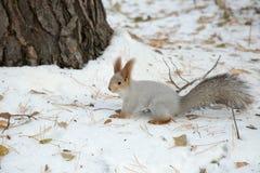 Sibirisches Eichhörnchen im Schnee durch den Baum Stockfotos