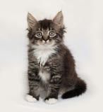 Sibirisches flaumiges Kätzchen der getigerten Katze, das auf Grau sitzt Stockfotos