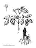 Sibirisches Ginseng Stockfoto