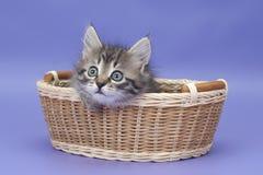 Sibirisches Kätzchen Lizenzfreie Stockfotos