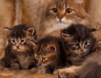 Sibirisches Kätzchen Lizenzfreies Stockfoto