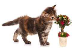 Sibirisches Kätzchen Stockfoto