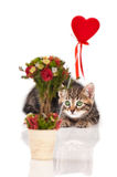 Sibirisches Kätzchen Stockbild
