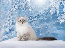 Sibirisches Kätzchen im Schnee Stockfotografie