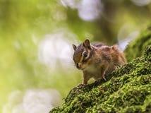 Sibirisches oder gemeines Streifenhörncheneichhörnchen, Eutamias Stockfotos
