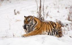 Sibirisches Tiger-Sitzen Stockfoto