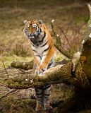 Sibirisches Tigerjunges Stockbild