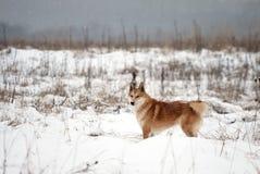 Sibirisches Westlaika Lizenzfreie Stockfotos