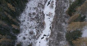 Sibirisches Zeder taiga, Altai, Russland 2 stock video