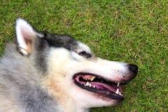 Sibirskiy Haski. Siberian Husky are tired  Lying on grass Royalty Free Stock Photography