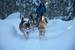Sibiry Haski är hunden som sledding i nordpolen av Lapland Finland Fotografering för Bildbyråer