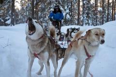 Sibiry Haski är hunden som sledding i nordpolen av Lapland Finland Royaltyfria Bilder