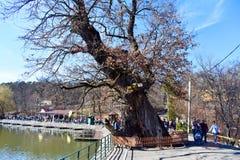 Sibiu Hermanstadt, Roemenië - 20 03 2019 - Reuze oude die boom met omheining in het park wordt beschermd Natuurlijk monument stock afbeelding