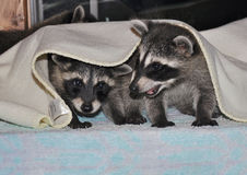 Sibling Raccoons. Two baby Raccoons playing under a blanket Stock Image