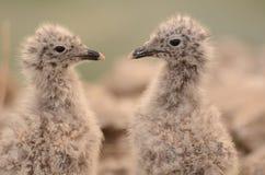 Sibling van zeemeeuwvogeltjes Stock Foto