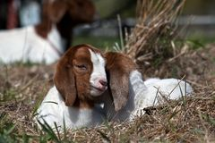 African Boer Goat Siblings Lying Together. African Boer goat kids lying together outside on a summer afternoon royalty free stock photography