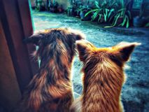 Siblings dogs. Aspin dogs from the Philippines Royalty Free Stock Images