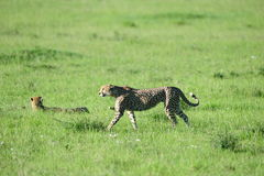 Siblings in the savannah. One bunting cheetah on the prowl through his large district Stock Images