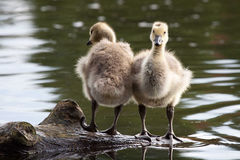 Siblings Side by Side. Two gosling siblings sit on a log side by side to watch each others backs Stock Image